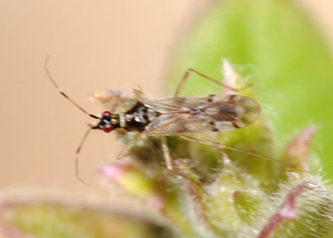 Small bug - Dicyphus hesperus
