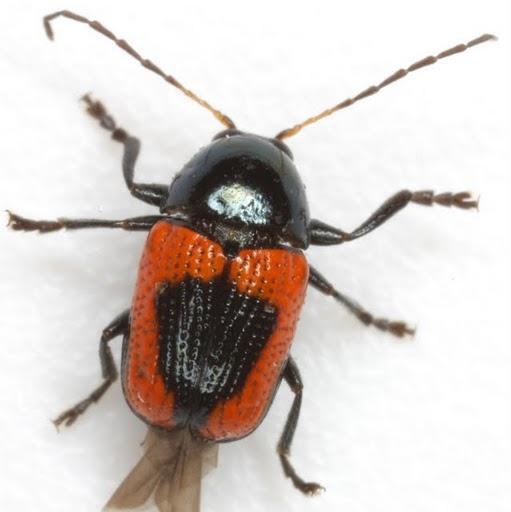Cryptocephalus notatus Fabricius - Cryptocephalus notatus - male