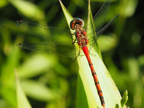 Red Dragonfly - Sympetrum ambiguum - male