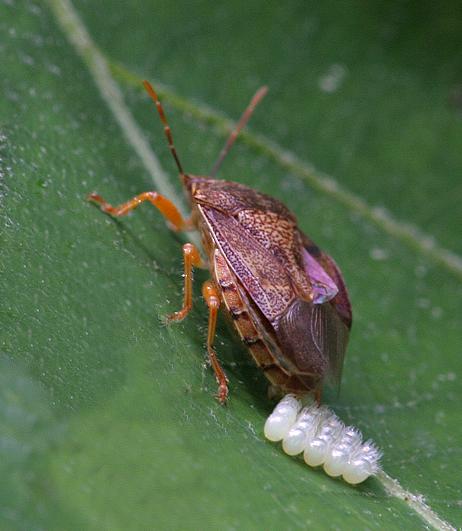 Shield Bug laying eggs - Podisus - female