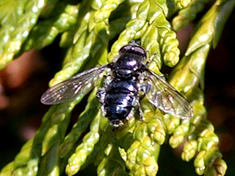Syrphid Fly - Pipiza - male