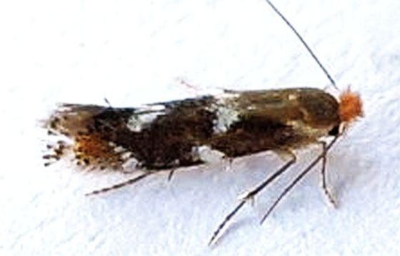 Pennsylvania Moth - Bucculatrix speciosa