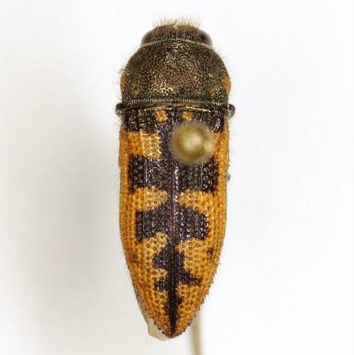 Acmaeodera gillespiensis Knull - Acmaeodera gillespiensis