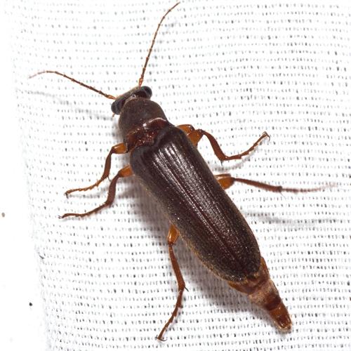 Click Beetle - Selonodon