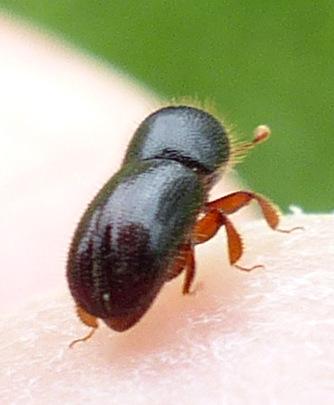 tiny beetle - Ambrosiophilus atratus