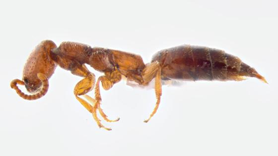 Bethylidae, lateral - Pristepyris