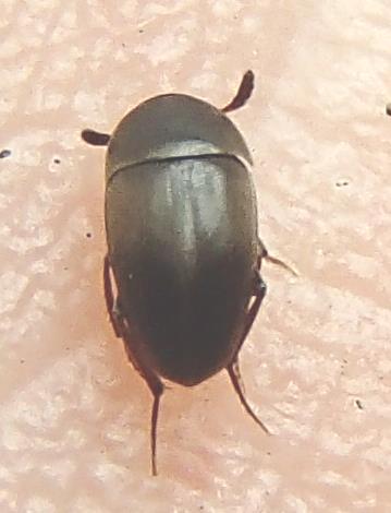 Small Carrion Beetle - Ptomaphagus brevior