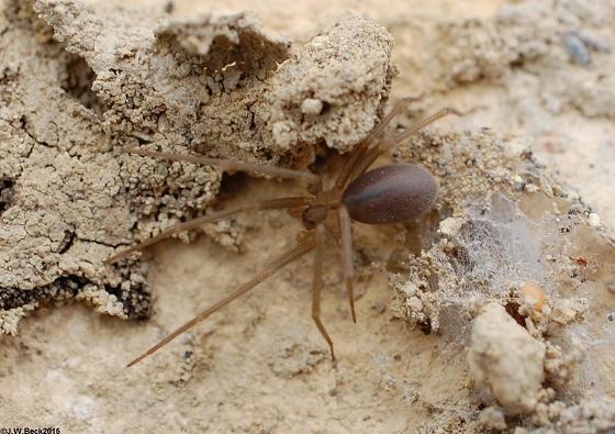 Loxosceles blanda (Big Bend Recluse)  - Loxosceles blanda - female