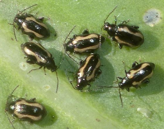 Cabbage Beetle - Phyllotreta striolata