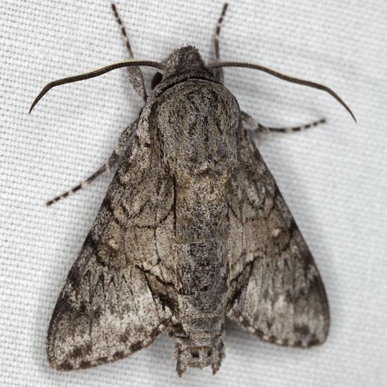 Moth IMG_0276 - Cautethia grotei
