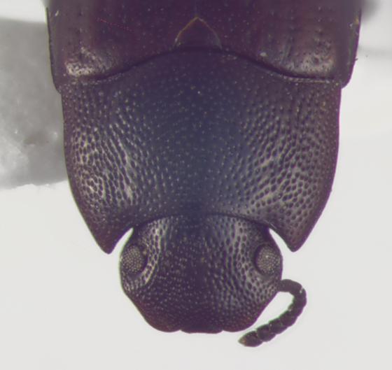 Tenebrionidae, head & prontoum - Blapstinus metallicus