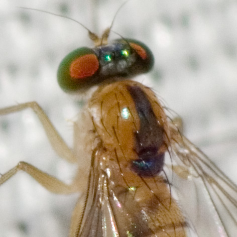 Long-legged Fly - Amblypsilopus dorsalis