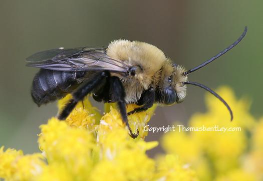 Longhorned Bee - Melissodes desponsus - male