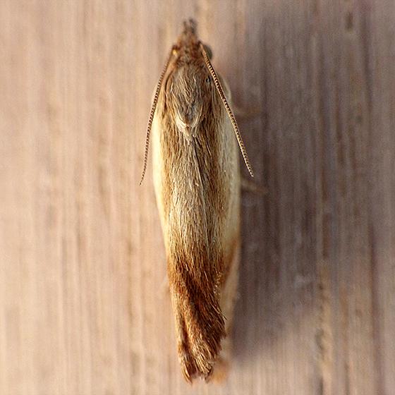 Shaded Phaneta (Phaneta umbrastriana) ? - Eucosma