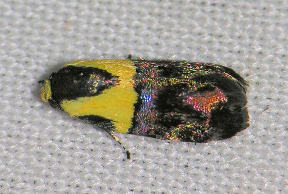 Small colorful moth - Rectiostoma xanthobasis