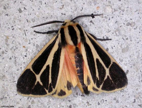 (Banded or Harnessed?) Tiger Moth - Apantesis phalerata - male