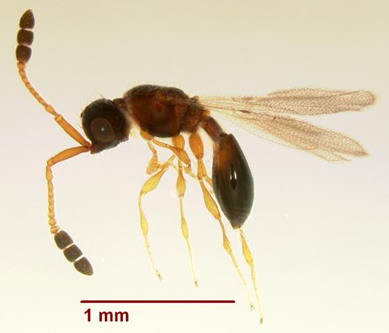 Parasitic Wasp (July2010) - Basalys - female