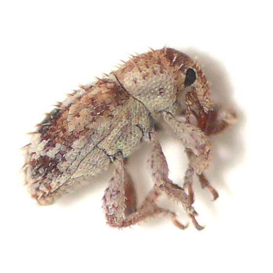 Weevil from California (3) 10.07.21 - Sibinia transversa