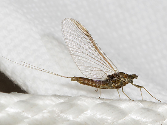 Unknown Mayfly - Leptophlebia