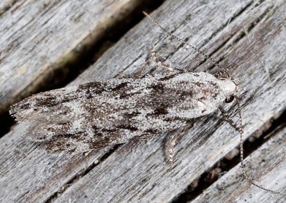 Camouflaged Moth - Carpatolechia belangerella