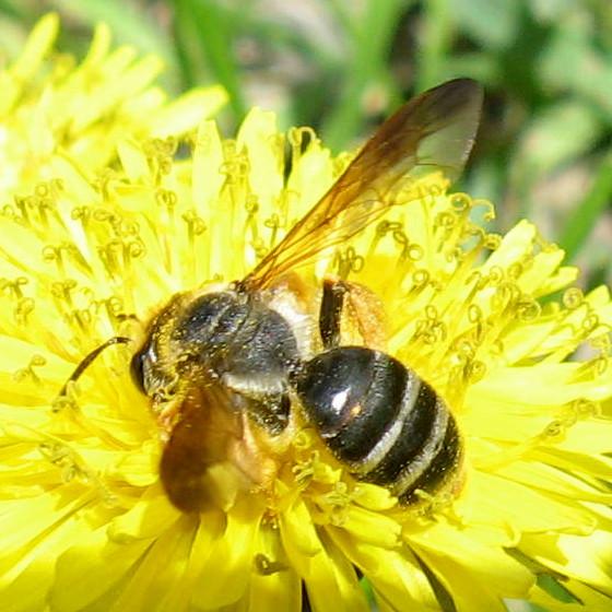 Andrena 02a - Andrena prunorum - female