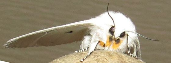Virginian Tiger Moth - Hodges#8137 - Spilosoma virginica