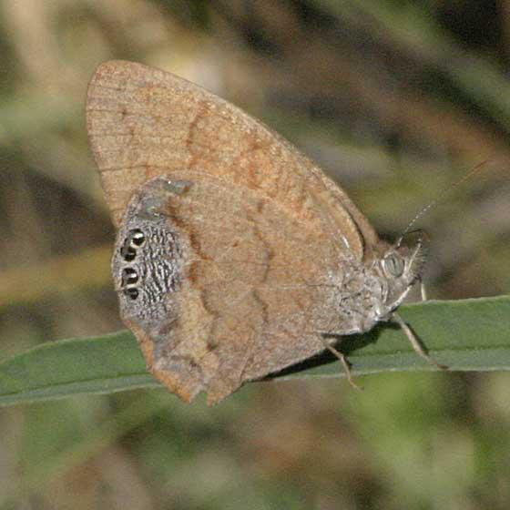 Cyllopsis pertepida - Canyonland Satyr - Cyllopsis pertepida