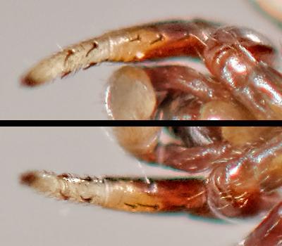 ant mimic jumper - Peckhamia - male