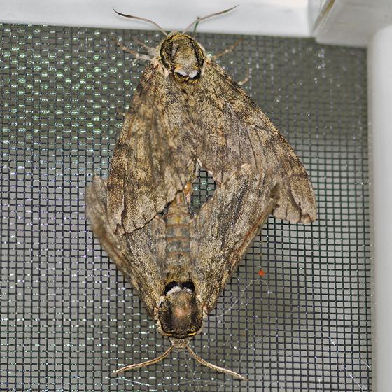 Waved sphinx - Ceratomia undulosa - male - female