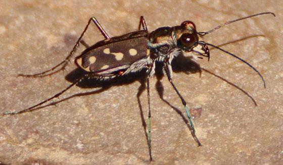 Tiger July 24 - Cicindelidia sedecimpunctata