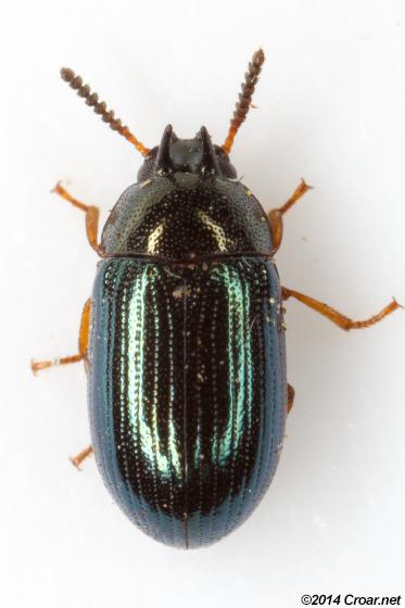 Neomida bicornis - male