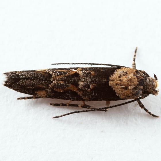 small moth - Mompha undescribed-species-on-epilobium-canum