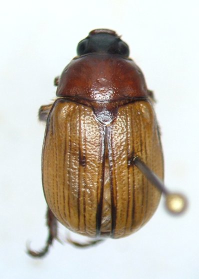 Anomala flavipennis