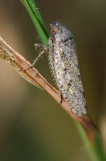 Leafhopper - Prairiana