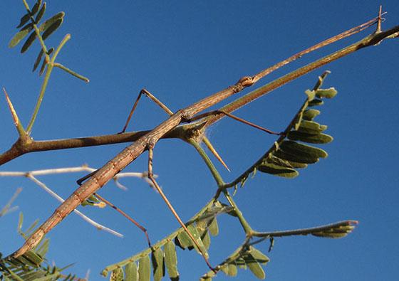 large walkingstick - Diapheromera arizonensis - female