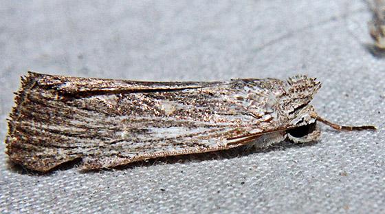Hodges#10033 - Catabena lineolata