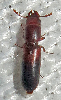 Corticotomus parallelus? - Corticotomus cylindricus