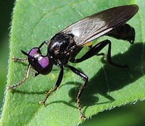NJ Eudioctria albius - Eudioctria albius - male
