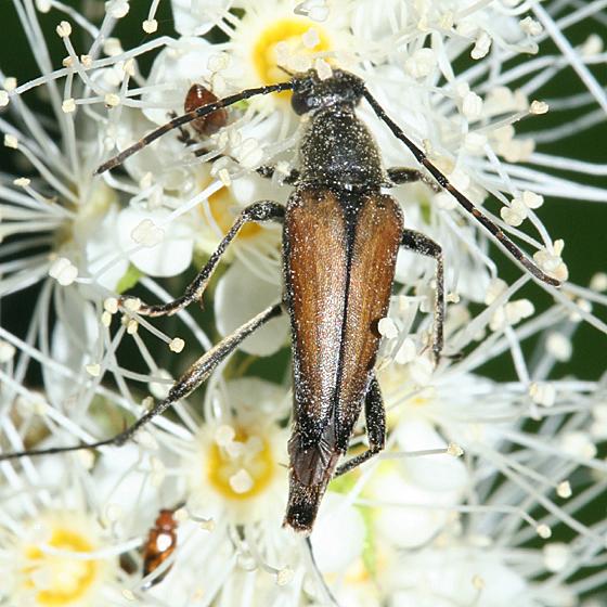 Flower Longhorn - Etorofus plebejus