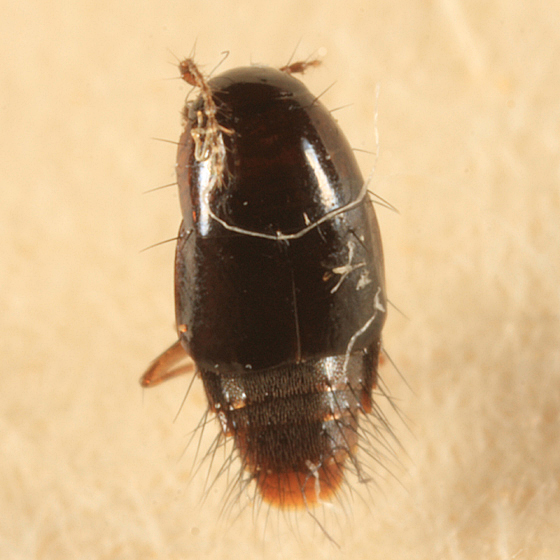 Rove Beetle - Habrocerus capillaricornis