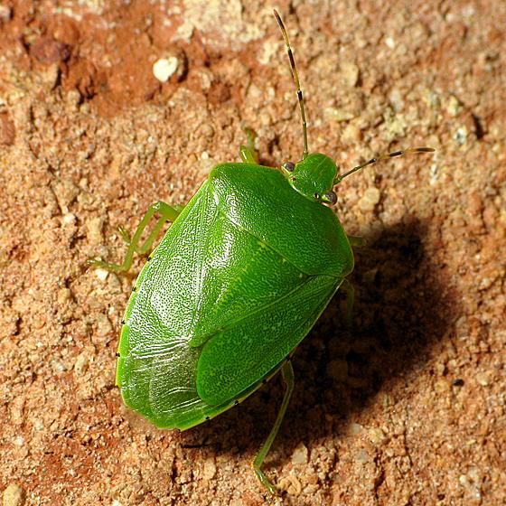 Longish Green Stink Bug - Chinavia hilaris
