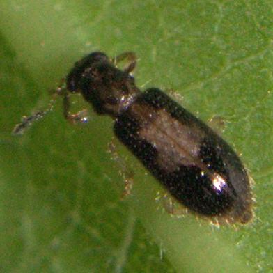 Beetle ID Request - Cregya mixta