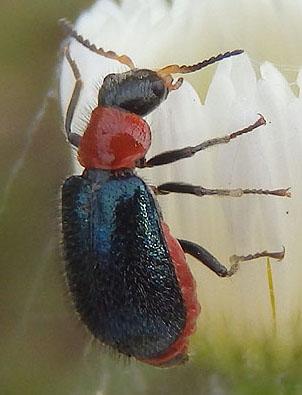 Flower Beetle - Collops tricolor - female