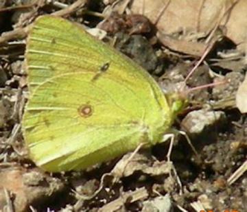 Which Sulphur BF ? - Colias philodice - male