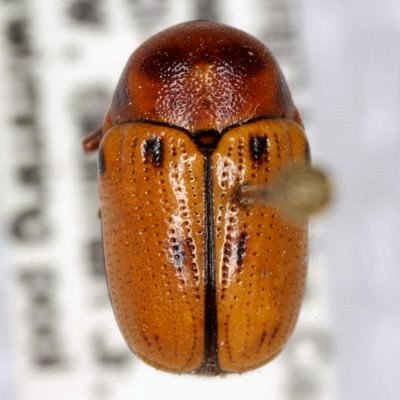 Cryptocephalus aulicus Haldeman  - Cryptocephalus aulicus