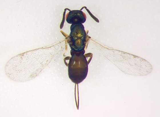 Torymidae