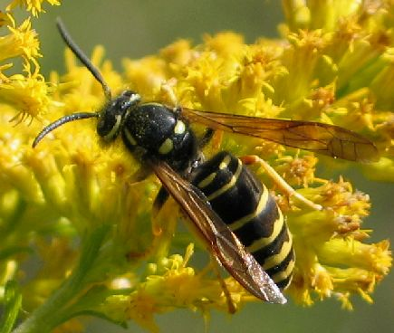 long yellowjacket 2 - Vespula vidua - male