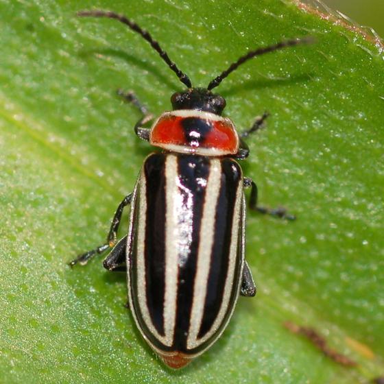 Stripey smartweed beetle - Disonycha pensylvanica