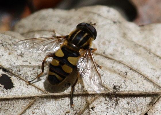 Fly in Great Swamp NJ - Helophilus