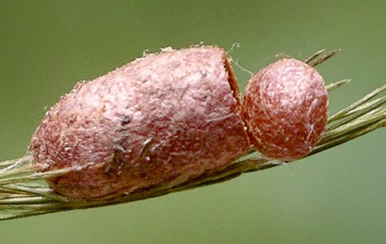 sawfly cocoon - Diprion similis